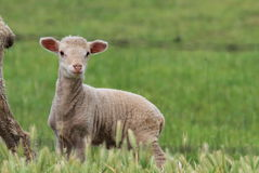 Kleines Lamm Lizenzfreies Stockbild