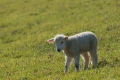 Kleines Lamm auf grüner Wiese Stockfotos