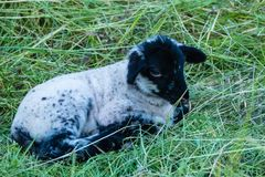 Kleines Lamm auf Wiese stockfoto