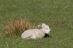 Kleines Lamm, das in einer Wiese schläft stockbild