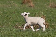 Kleines Lamm, das mit seinem Kinn herauf Höhe geht stockfotos