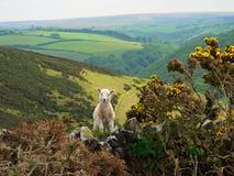 Kleines Lamm in exmoor Tal, England Stockfoto