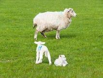 Kleines Lamm zwei mit Mutterschafen auf Weide Lizenzfreies Stockbild