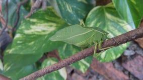 Kleines Leuchtkäfernaturgrünvogel-Fliegeninsekt verlässt helles schönes Lizenzfreie Stockbilder