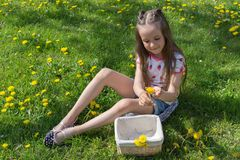 Kleines Mädchen auf Löwenzahnrasen heben Löwenzahn in einem Korb auf stockfoto