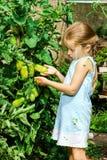 Kleines Mädchen, das ihrer Mutter mit Tomate im Garten hilft Lizenzfreie Stockbilder