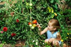Kleines Mädchen, das ihrer Mutter mit Tomate im Garten hilft Stockfotos