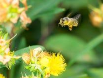 Kleines Mädchen ist Bienenkostüm Stockbilder