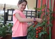 Kleines Mädchen sammelt frische Tomaten von der Anlage im städtischen Stockfotos