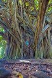 Kleines Mädchen und riesiger Banyanbaum Lizenzfreies Stockfoto