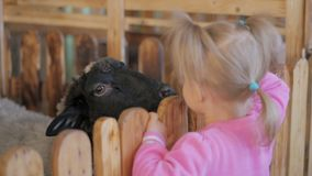Kleines Mädchen zieht Ziegen- und Schafgemüse in einem Kontaktzoo oder -bauernhof ein stock video footage