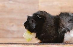 Kleines Meerschweinchen, das Kohlblatt isst Lizenzfreies Stockfoto