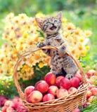 Kleines miauendes Kätzchen in einem Korb mit Äpfeln Stockbilder