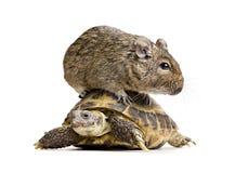Kleines Nagetier auf Schildkröte Lizenzfreie Stockfotos