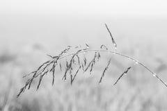 Kleines nasses Grassamenmakro in Nebel des frühen Morgens künstlerischen convers Stockfotos