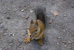 Kleines nettes Eichhörnchen, das eine Nuss isst Stockfotos