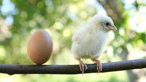 Kleines nettes Küken und Ei stock video