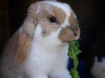Kleines, nettes Kaninchen isst Lizenzfreie Stockbilder