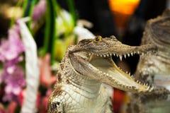 Kleines nettes Krokodil, das mit offenem Mund mit Los Zähnen lacht Reptilangriff Stockfoto