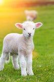 Kleines nettes Lamm, das in eine Wiese in einem Bauernhof herumspringt stockfotografie
