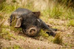 Kleines nettes schwarzes Schwein, welches die Außenseite, Ecuador genießt Stockfoto