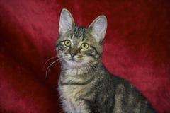 kleines nicht reinrassiges gestreiftes Kätzchen, das auf einer roten Wolldecke sitzt, lizenzfreie stockfotos