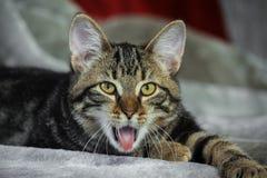 Kleines nicht reinrassiges gestreiftes Kätzchen, das auf Magen liegen, Mund offen und Zunge, die heraus haftet, stockfoto