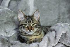 Kleines nicht reinrassiges gestreiftes Kätzchen liegt auf einer grauen Wolldecke, ruhig lizenzfreies stockfoto