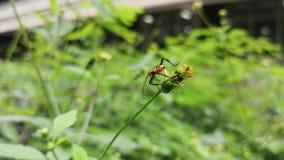Kleines orange Insekt mit schwarzen Dornen auf einer wilden Blume in einem Garten stock footage