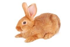 Kleines orange Kaninchen Stockbilder