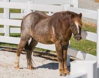Kleines Pferd lizenzfreies stockfoto