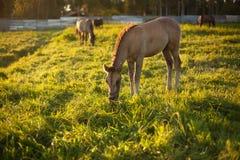 Kleines Pferd auf einer Wiese Lizenzfreies Stockfoto