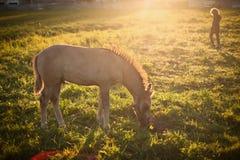 Kleines Pferd auf einer Wiese Stockfoto