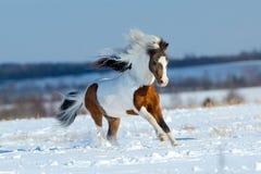 Kleines Pferd, das in den Schnee auf dem Gebiet läuft Stockfotos