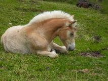 Kleines Pferd ist auf Weide Lizenzfreie Stockbilder