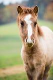 Kleines Pferdefohlen Stockfotos