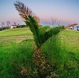 Kleines Phoenix auf einem grünen Gebiet Stockfoto