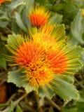 Kleines Pin Cushion Protea 2 Stockfoto
