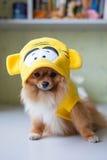 Kleines Pomeranian, das in den lustigen Kostümen sitzt Lizenzfreie Stockfotos