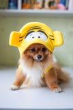 Kleines Pomeranian, das in den lustigen Kostümen sitzt Lizenzfreies Stockbild