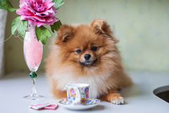 Kleines Pomeranian, das mit einer Tasse und Untertasse sitzt Stockfotografie