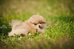 Kleines Pomeranian-Welpenlügen Stockbild