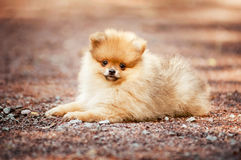 Kleines Pomeranian-Welpenlügen Stockbilder
