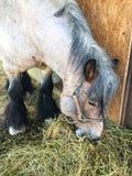 Kleines ponie, das auf dem Feld weiden lässt stockfoto