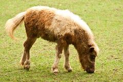 Kleines Pony essen Gras Lizenzfreies Stockfoto