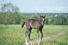Kleines Ponybaby auf dem Gebiet Stockbilder