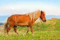 Kleines Ponypferd (Equus ferus caballus) Lizenzfreies Stockfoto