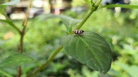Kleines rötlich braunes Insekt mit weißen Streifen auf einem grünen Blatt stock footage