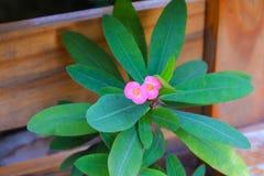 Kleines rosa Euphorbiengummi Milii-Blume wite grüne Blätter lizenzfreie stockfotografie