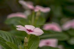 Kleines rosa Singrünmakrofoto stockfoto
